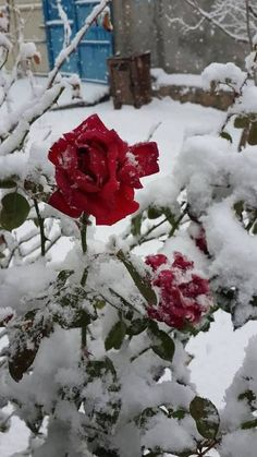 nothing more beautiful than roses in the snow