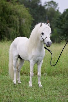 what a beautiful Pony and such a sweet face! Cute Baby Horses, Tiny Horses, Horses And Dogs, White Horses, Cute Baby Animals, Animals Dog, Most Beautiful Horses, Pretty Horses, Horse Love