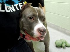 SAFE - Manhattan Center VIOLET – A1096502  FEMALE, GRAY / WHITE, PIT BULL MIX, 3 yrs STRAY – STRAY WAIT, NO HOLD Reason STRAY Intake condition UNSPECIFIE Intake Date 11/11/2016, From NY 10461, DueOut Date 11/14/2016,