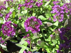 Alyssum - Easter Bonnet Violet (pbmGarden) Planted 2016 in pots by front entrance