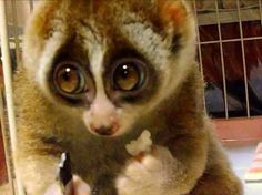 slow loris, adorable and endangered