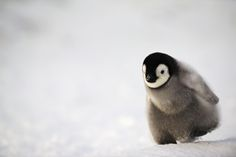A single Emperor penguin chick close to the colony. Cute Baby Penguin, Penguin Love, Baby Penguins, Nature Animals, Animals And Pets, Emperor Penguins, Baby Animals Pictures, Cute Hedgehog, Cute Little Animals