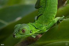 Chameleon | by Alberto Márquez Marín