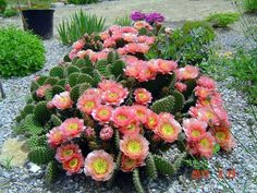 Pepiniera de cactusi infloriti ,o raritate!?