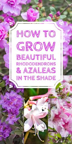 These tips on growing Rhododendrons are the BEST! I need some shrubs to grow in the shade in my backyard and now I know what I'm going to plant. #rhododendron #azalea #shadeplants #gardening #shrubs #bushes #plants #gardenideas