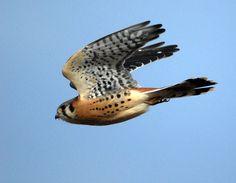 American kestrel (Falco sparverius) #amazing #bird