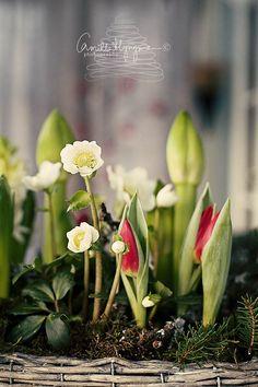 Amaryllis, Helleborus, Tulips