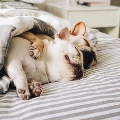 Snuggling French Bulldogs