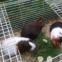 Wonderful World of Guinea Pigs - Community - Google+