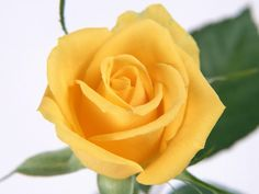 Yellow roses means joy, friendship caring