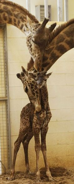 Funny pictures about Giraffe Family Hug. Oh, and cool pics about Giraffe Family Hug. Also, Giraffe Family Hug. The Animals, Cute Baby Animals, Funny Animals, Wild Animals, Beautiful Creatures, Animals Beautiful, Family Hug, Happy Family, Happy Parents