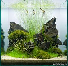 55x55x55cm; Light: 150, 7h/day; Amazonia II, White sand; Phyllite slate Fertilization: Brighty K, Brighty Step 2, ECA; CO2: Co2 cylinder + diffuser; Water: RO + tap water (1:2); Parameters: KH 4, GH 4, NO3 1-5ppm, PO4 0-0.25ppm; Fauna: Rasbora Mosquito, Rasbora Maculata, Hyphessobrycon Amandae, Neocaridina Heteropoda var. Red; Pterophyllum scalare; Flora: Echinodorus Tenellus, Fissidens Fontanus, Eleocharis Parvula, Eleocharis Vivipara; Eleocharis Accicularis;