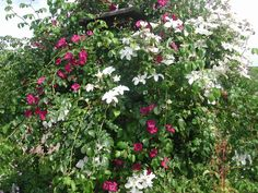The white clematis is 'John Huxtable'