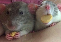 the boys enjoying some treats #aww #cute #rat #cuterats #ratsofpinterest #cuddle #fluffy #animals #pets #bestfriend #ittssofluffy #boopthesnoot