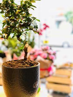 Μπονζάι , greenartstore# φυτοπωλείο