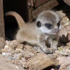 Adorable Baby Meerkat - Surprisingly Cute Baby Animals