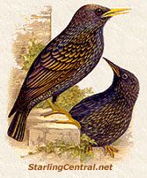 Pet European Starlings - Index to Webpages about Living with a Rescued Starling
