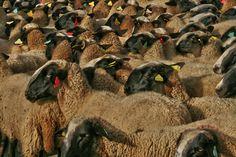 Moutons bouclés