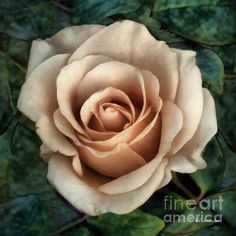 http://fineartamerica.com/featured/coppered-ivory-rc-dewinter.html