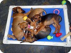 Cedar Creek, TX - Dachshund/Chihuahua Mix. Meet 4 chiweenie puppies a Puppy for Adoption.
