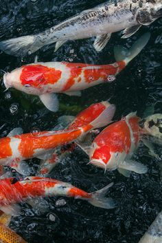 Japanese carp, Koi 鯉 Koi Fish Pond, Fish Ponds, Koi Art, Fish Art, Koi Painting, Common Carp, Pond Water Features, Salt Water Fish, Carpe