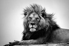 Lion King Animals, Animals And Pets, Lion Wallpaper, Black Wallpaper, Black And White Lion, Lions Clubs International, Lion Pride, Lion Pictures, Lion Of Judah