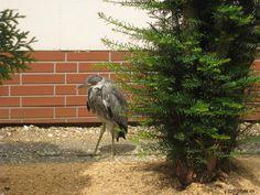 Tiere 2011 - ein junger Fischreiher hat sich nach Hagenbach verirrt.