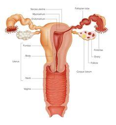 uterus pic