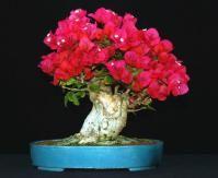 De origem nos países da américa do sul, a bougainvillea é uma espécie rústica, de fácil cultivo e que exige poucos cuidados. Seu nome foi dado em homenagem ao francês Louis Antoine Bougainville, qu…