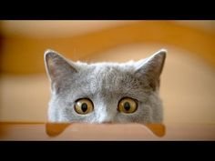 Try not to laugh at these cats - Funniest Videos In The World