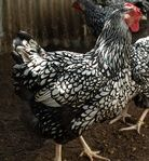 Photo Gallery - Chookloop Poultry Heritage & Rare Breed Chickens
