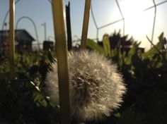Wishing flower. By Destiny Richards.