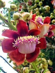 Flor de Abricó de Macaco  - Cris Figueired♥
