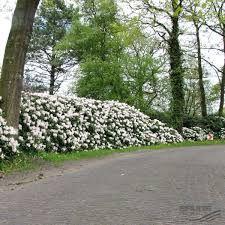 afbeeldingsresultaat voor rhododendron 39 cunningham 39 s white. Black Bedroom Furniture Sets. Home Design Ideas