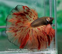 fwbettashm1427222995 - B I G . A R M A G E D D O N # 8 8 6 6 Pretty Fish, Cool Fish, Beautiful Fish, Animals Beautiful, Betta Fish Types, Betta Fish Care, Colorful Fish, Tropical Fish, Freshwater Aquarium