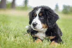 3 Month Old Bernese Mountain Dog http://ift.tt/2auz59g