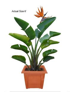 Cardboard Palm Isn 39 T A Palm But A Cycad And Is Easy To