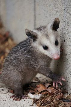 A baby possum roaming the streets of Chattanooga, TN. Woodland Creatures, Woodland Animals, Beautiful Creatures, Animals Beautiful, Beautiful Beautiful, Cute Baby Animals, Funny Animals, Baby Opossum, In This World