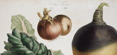 Znalezione obrazy dla zapytania Album Vilmorin. The Vegetable Garden