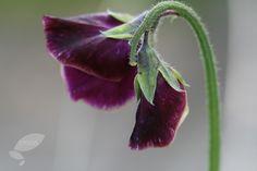Lathyrus odoratus 'Beaujolais'