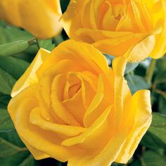 """""""Radiant Perfume""""  Lemon scent and bright sparkling color make these long-stemmed blooms most welcome in borders and bouquets. This vigorous, statuesque plant always looks clean and healthy, its glossy, dark green foliage acting as a lovely background for the brilliant yellow roses. Zones 5-10"""