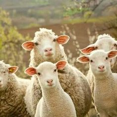 How sweet. Sheep are so pastoral & biblical.