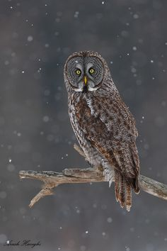 Great grey owl by Ari Hazeghi