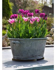 I have an old tin bath like this and am now inspired to fill it with tulips for the spring garden.. It would look gorgeous next to the front door! monjardinmeamerveilles #tulips#spring #pottedbulbs