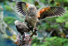 Nestor kéa - Nestor notabilis, New Zealand, South Island Kiwiana, South Island, Cockatoo, Bird Feathers, Wildlife Photography, New Zealand, Parrots, Birds, Naive