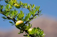 argan oil http://www.justcarefor.com/health/argan-oil-healing-skin-diseases-boosts-immune-system/