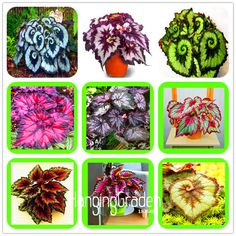 Big Promotion! 100 Seeds/Bag Beautiful Begonia flower seeds flowers potted bonsai garden courtyard balcony Coleus seeds