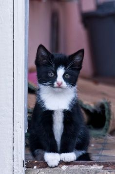 tuxedo kitty cat..RIGHT NOW FRED ASTAIRE IS USING MY TOP HAT & CANE---BUT KNOWING FRED HE'LL RETURN THEM ASAPccp