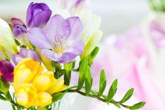 ***¿Cómo Cuidar las Fresias?*** Si hay una flor perfumada y colorida, esa es la Fresia. ¡Pero a menudo nos duran muy poco tiempo! Aprende cómo cuidarlas y disfrutar de su belleza por mucho tiempo.....SIGUE LEYENDO EN..... http://comohacerpara.com/cuidar-las-fresias_12397h.html
