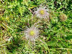 Wiesenblume der Alpen